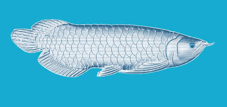Deep blue and white engraved vintage drawing Arowana fish woodcut print style vector illustration isolated on turquoise blue background