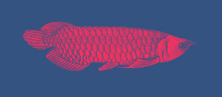 Bright red engraved vintage drawing Arowana fish woodcut print style vector illustration isolated on deep blue background