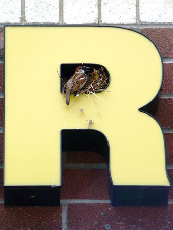 incubate: A pair of house sparrows incubating their eggs in the cavity of an R instead of in a tree Stock Photo