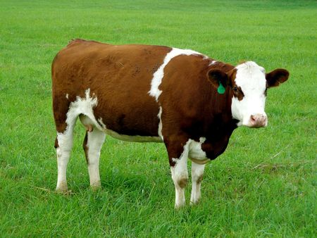A brown-and-white cow standing in a green field