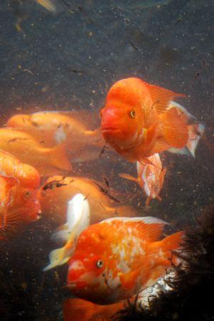 Fish naranja con Funny Faces  Foto de archivo - 7050377