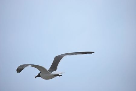 Tern Flying