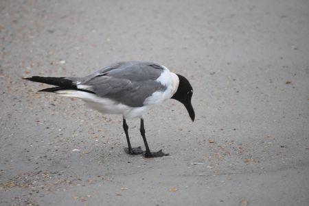 Tern Feeding
