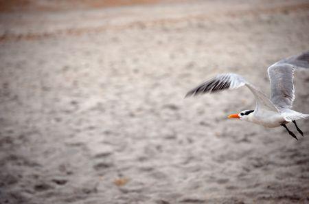 Seagull Flying Over the Beach Stok Fotoğraf