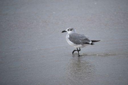 Gull Wading on the Beach