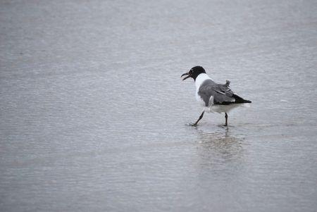 Tern Wading on the Beach