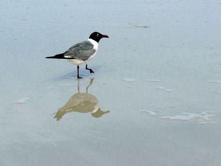 Tern Walking Along the Beach