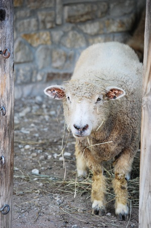 Pecore da masticare Hay Archivio Fotografico - 8723969