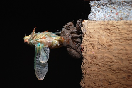 exoskeleton: Cicada Emerging From Exoskeleton Stock Photo