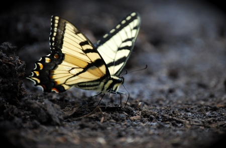 Eastern Tiger Swallowtail Puddling photo