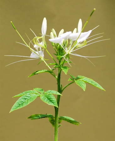 Rocky Mountain Bee Plant