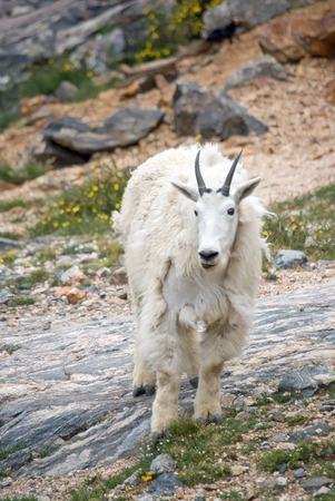 berggeit: Mountain Goat in the Rocky Mountains Stockfoto