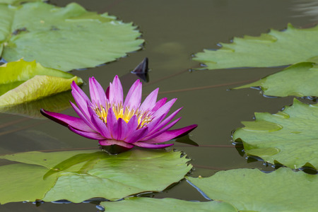 water lily in the pond photo