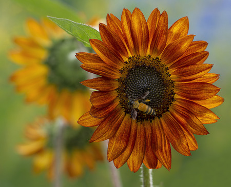 sunflower with bee photo