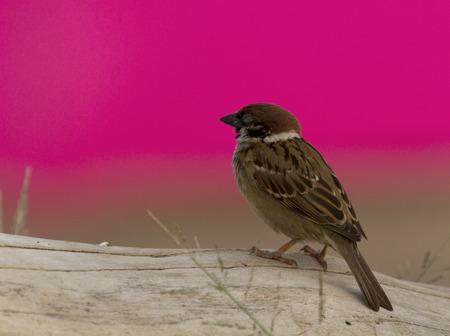muffle: Brown Bird