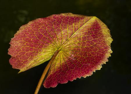 leaf close up: Lotus Leaf close up  Stock Photo