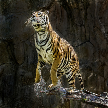 to muffle: tiger ready to jump Stock Photo