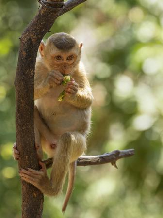to muffle: monkey eating a banana