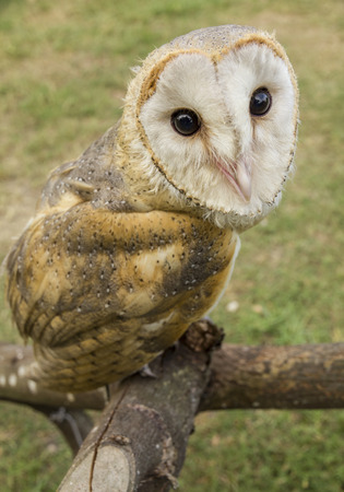 muffle: stare of an owl