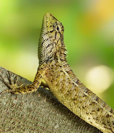 iguana: Iguana