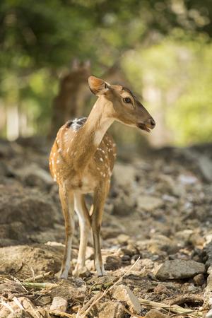to muffle: deer