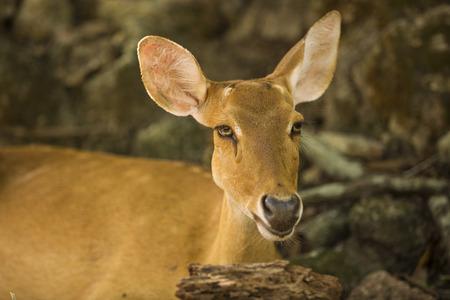 deer portrait