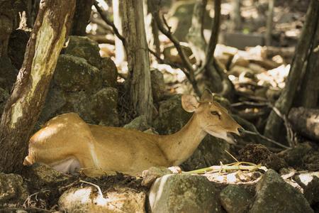 to muffle: deer resting