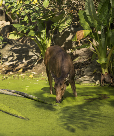 to muffle: deer in the pond