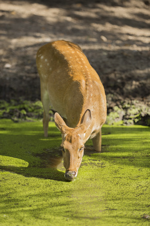 muffle: deer in the pond