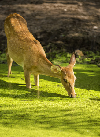 deer in the pond