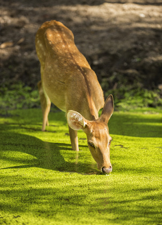 deer eating in the pond