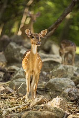 to muffle: curious deer