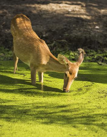 ovejitas: una consumición de los ciervos en el estanque Foto de archivo