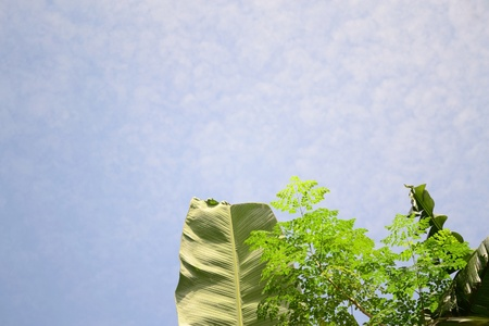 banana leaves and the miracle tree with scientific name moringa oleifera, against light blue sky background.   photo