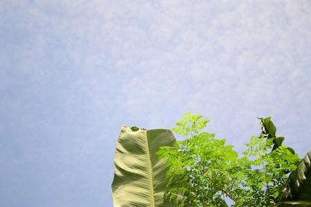 oleifera: hojas de pl�tano y el �rbol de milagro con el nombre cient�fico de moringa ole�fera, contra el fondo claro cielo azul. Foto de archivo