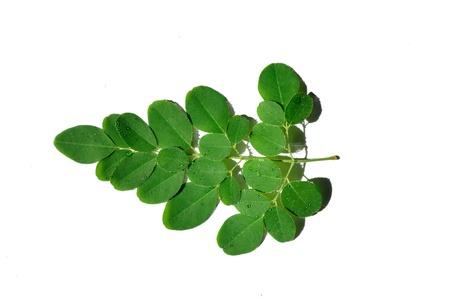 oleifera: una rama de milagro se va con el nombre cient�fico de moringa ole�fera en el fondo blanco Foto de archivo