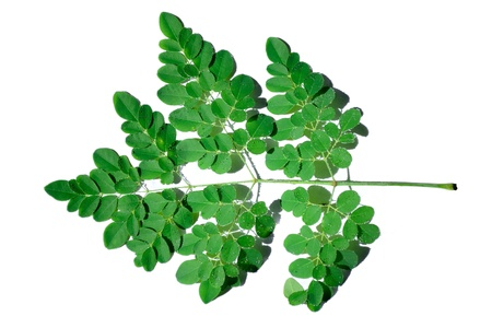miracle leaf: a branch of miracle leaves with scientific name moringa oleifera on white background
