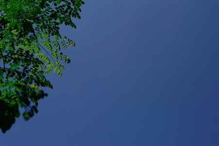 miracle leaf: branches of miracle leaves with scientific name moringa oleifera against bluesky background.   Stock Photo