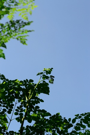 miracle leaf: branch of miracle leaves with scientific name moringa oleifera against lightblue sky background, selected focus on its buds.