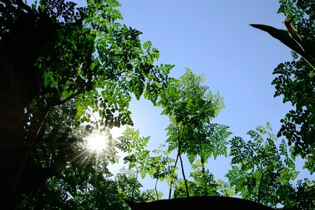 miracle trees with scientific name moringa oleifera against light-blue sky background with visible sunrays.   photo