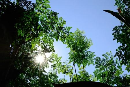 oleifera: �rboles milagrosos con nombre cient�fico Moringa ole�fera contra el cielo de fondo azul claro, con los rayos solares visibles.