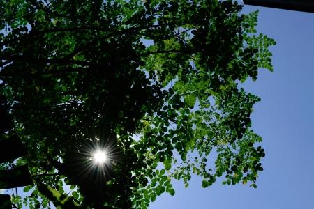 miracle leaf: visible sun rays thru moringa leaves   Stock Photo