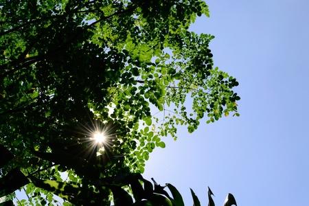 thru: visible sun rays thru moringa leaves   Stock Photo