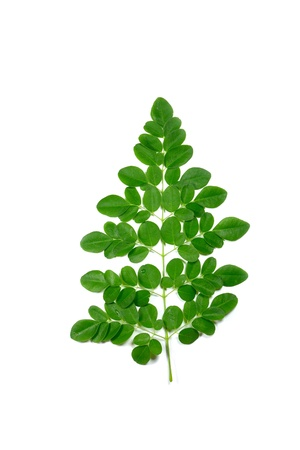 moringa oleifera single branch Stock Photo - 12744221