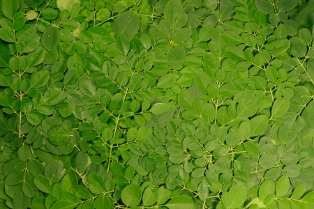 moringa oleifera leaves stack photo