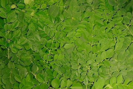 miracle leaf: moringa oleifera leaves stack