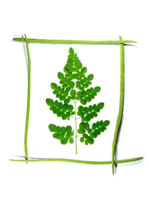 oleifera: baquetas marco de Moringa ole�fera con una sucursal en que en el fondo blanco, Foto de archivo
