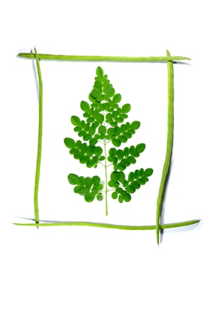 miracle tree: frame drumsticks of moringa oleifera with a branch in it on white background,
