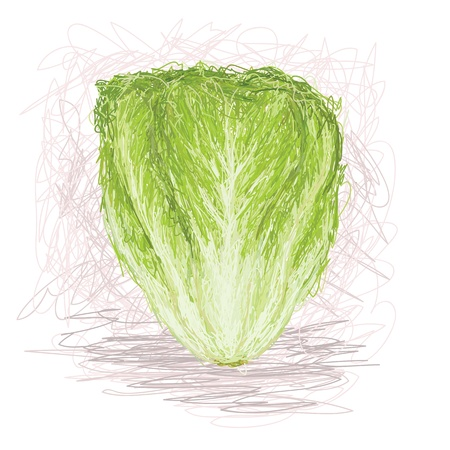 romaine lettuce: closeup illustration of a fresh lettuce vegetable. Illustration