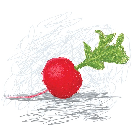 closeup illustration of a fresh radish vegetable. Vector